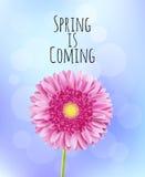 Fondo rosado de la primavera de la flor del gerbera Imagen de archivo libre de regalías