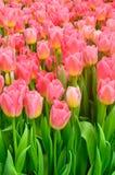 Fondo rosado de la vertical de los tulipanes Fotos de archivo libres de regalías