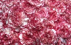 Fondo rosado de los claveles Fotos de archivo