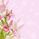 Fondo rosado de los lirios Foto de archivo