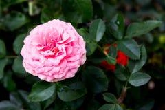 Fondo rosado de Rose Fotografía de archivo