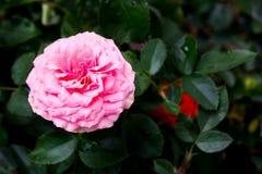 Fondo rosado de Rose Imágenes de archivo libres de regalías