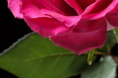 Fondo rosado de Rose Imagen de archivo