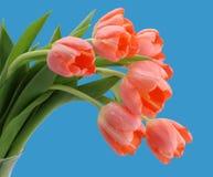 Fondo rosado del azul de los tulipanes Imagen de archivo libre de regalías