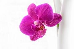 Fondo rosado del blanco de la orquídea Imagenes de archivo