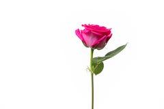 Fondo rosado del blanco de Rose Imagen de archivo libre de regalías