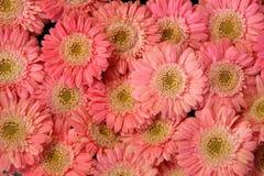 Fondo rosado del gerbera Foto de archivo libre de regalías