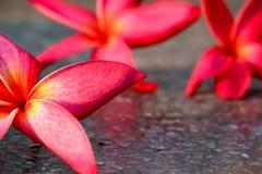 Fondo rosado 505 del plumeria Fotografía de archivo