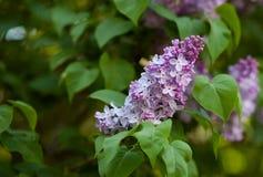 Fondo rosado del verde de la lila Imagenes de archivo