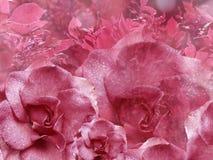 Fondo rosado floral de rosas Composición de la flor Flores con las gotitas de agua en los pétalos Primer fotos de archivo