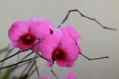 Fondo rosado hermoso de la orquídea? creado en el picosegundo Fotografía de archivo libre de regalías