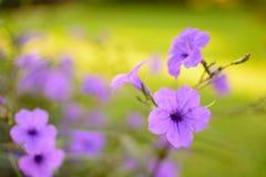 Fondo rosado púrpura de la falta de definición del foco selectivo de la flor Foto de archivo libre de regalías