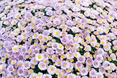 Fondo rosado violeta del campo de flores del crisantemo Aún vida floral con muchas momias coloridas Hojas verdes y amarillas en u Foto de archivo