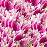 Fondo rosado y blanco de los tulipanes Fotografía de archivo