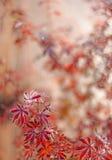 Fondo rosso dell'acero giapponese Fotografie Stock Libere da Diritti