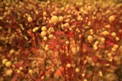 Fondo rosso dell'erba Fotografia Stock Libera da Diritti