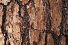 Fondo rosso della corteccia del larice Immagine Stock