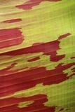 Fondo rosso della foglia della banana delle Hawai Immagini Stock