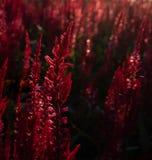 Fondo rosso della pianta del lupino al sole immagini stock