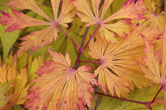 Fondo Rosso e foglie verdi di autunno su un ramo Immagine Stock