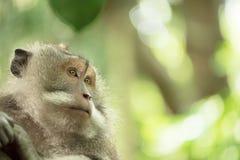 Fondo salvaje de la naturaleza del primer de la fauna del mono Fotografía de archivo