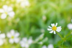 Fondo salvaje del campo de flores de la primavera de las margaritas de la manzanilla Naturaleza Imagenes de archivo