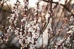 Fondo sbocciante dell'albero di albicocca Fotografia Stock Libera da Diritti