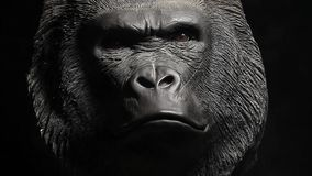 Fondo scuro della testa della gorilla video d archivio