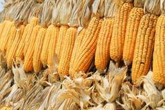 Fondo secado del maíz Foto de archivo libre de regalías