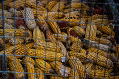 Fondo secado del maíz Foto de archivo