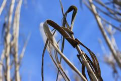 Fondo seco del cielo de la planta del trigo de la cosecha fotografía de archivo libre de regalías