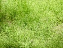 Fondo selvaggio alto di macro dell'erba verde Immagine Stock