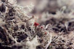 Fondo selvaggio atmosferico della natura con il lichene del fiammifero del ` s del diavolo Floerkeana di Cladonia Immagini Stock Libere da Diritti