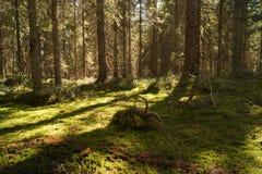 Fondo selvaggio del paesaggio della foresta Fotografia Stock