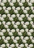 Fondo senza cuciture verde con le rose bianche Immagini Stock