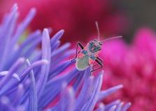 Fondo, soldado del insecto en la flor del aster Imagenes de archivo