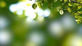 Fondo soleado con la rama natural con las hojas verdes en el follaje con los sunlights almacen de metraje de vídeo