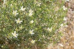 Fondo soleado del verano del verde de la planta floreciente del harmala de Peganum Imagen de archivo libre de regalías
