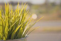 Fondo soleggiato di agricoltura dell'erba verde fresco e rilassi nel primo mattino Immagini Stock
