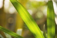 Fondo soleggiato di agricoltura dell'erba verde fresco e rilassi nell'alba di primo mattino Fotografie Stock Libere da Diritti