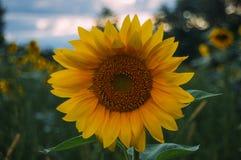 Fondo solo del girasol y de la puesta del sol fotografía de archivo libre de regalías