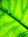 Fondo sotto forma di primo piano verde della foglia Il sole splende attraverso lo strato Fotografia Stock