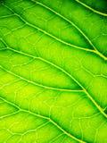 Fondo sotto forma di primo piano verde della foglia Il sole splende attraverso lo strato Immagini Stock Libere da Diritti