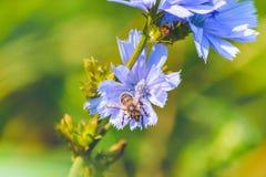 Fondo suave de la abeja azul de los wildflowers Foto de archivo