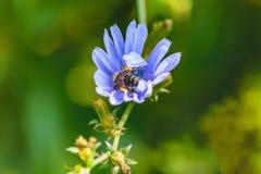 Fondo suave de la abeja azul de los wildflowers Fotografía de archivo