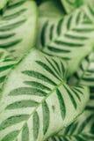 Fondo succoso delle foglie verdi di contrasto Immagini Stock