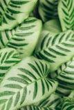 Fondo succoso delle foglie verdi di contrasto Fotografie Stock Libere da Diritti