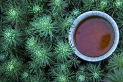 Fondo suculento de la planta de la taza de t? negro nadie fotos de archivo libres de regalías