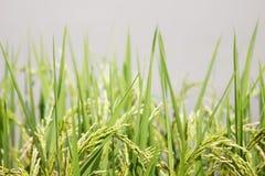 Fondo Tailandia del claro del campo del arroz Imagen de archivo libre de regalías
