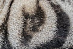 Fondo - textura de la piel Gato gris rayado foto de archivo